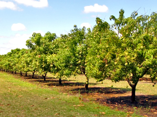 Mango Farming Guide For Beginners Agri Farming
