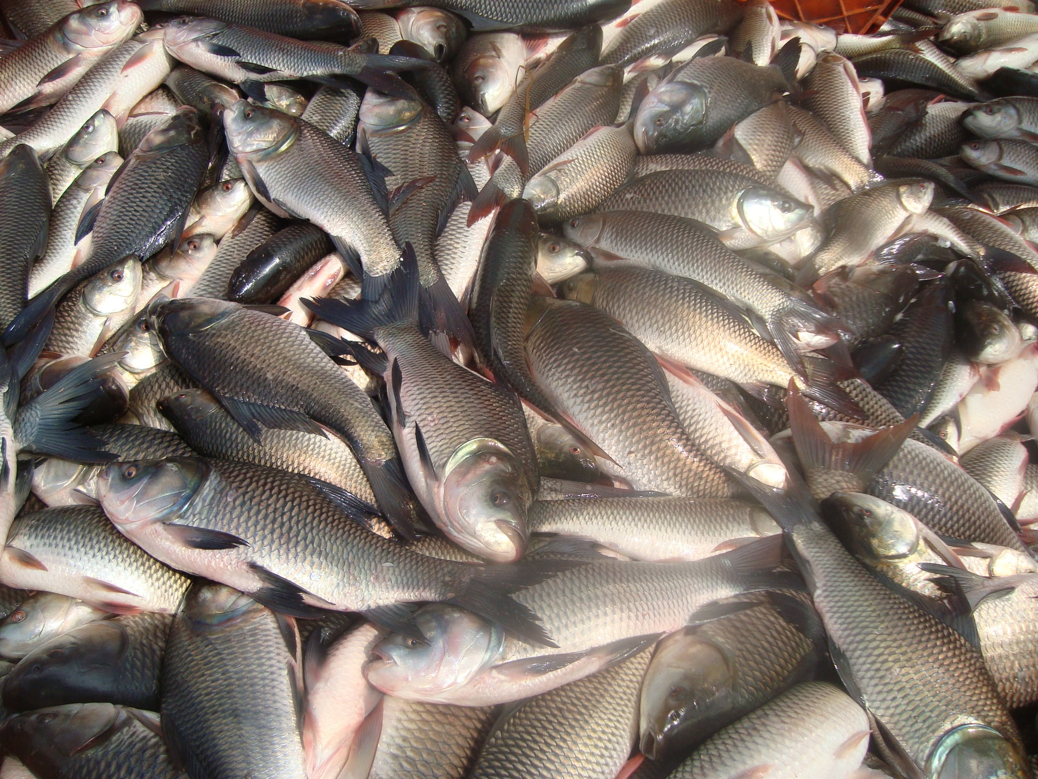 Fish farming info guide for beginners agri farming for Mural fish in tamil