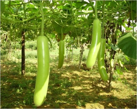 Bottle Gourd Farming Information Guide Agrifarming In