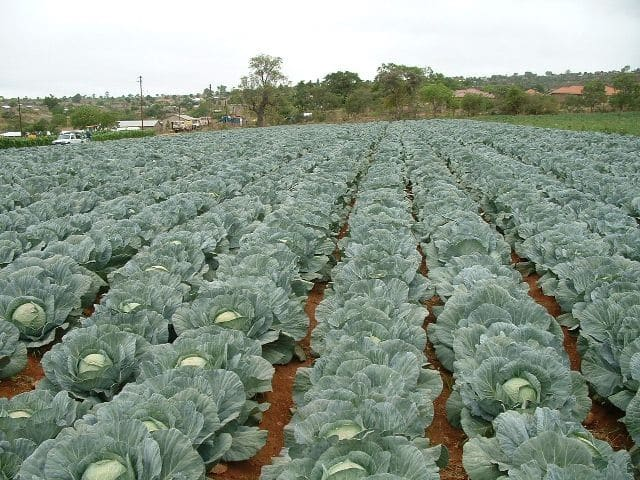 Cabbage Farming Detailed Information Guide