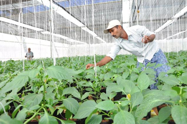 capsicum farming in open field Dear all, anyone having experience in open field cultivation of green capsicum i am about to start it and planted nursery for it thanks in advance for.