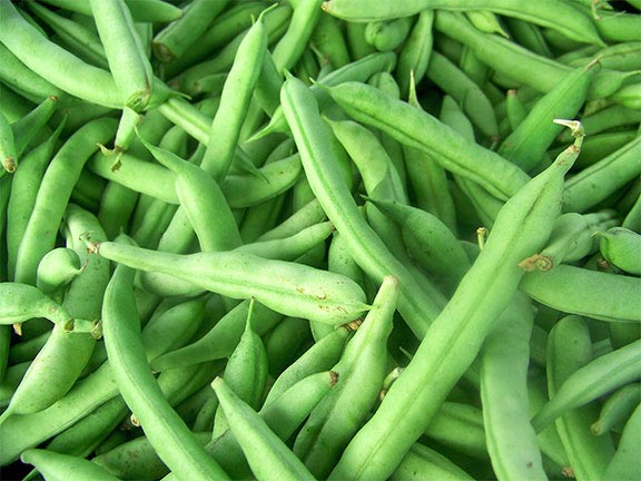 Beans farming information detailed guide agri farming for Indoor gardening green beans