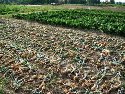 Onion Farming In India Guide For Beginners Agri Farming