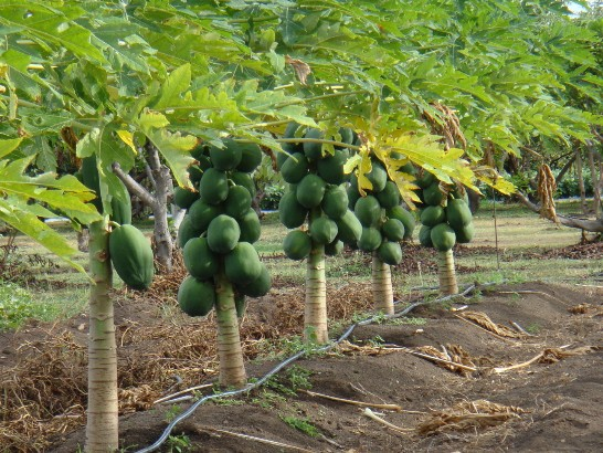 Papaya Farming Info Guide For Beginners Agri Farming