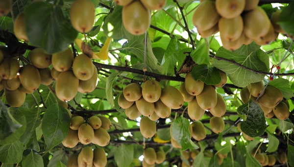 kiwi farming information guide for beginners  agrifarming.in, Beautiful flower