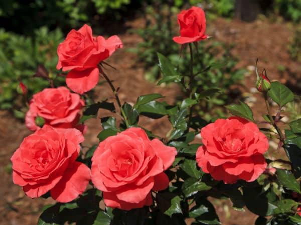 rose farming information detailed guide agri farming