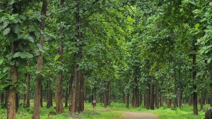 Teak Wood Farming Information Detailed Guide Agri Farming