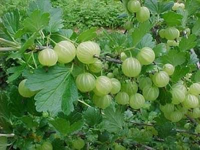 Gooseberry mature width