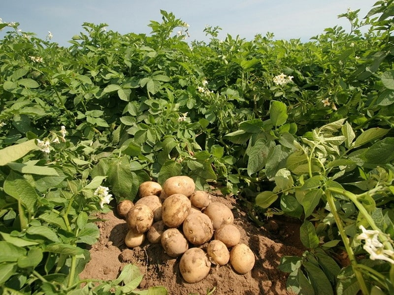 Image result for aloo farm punjab