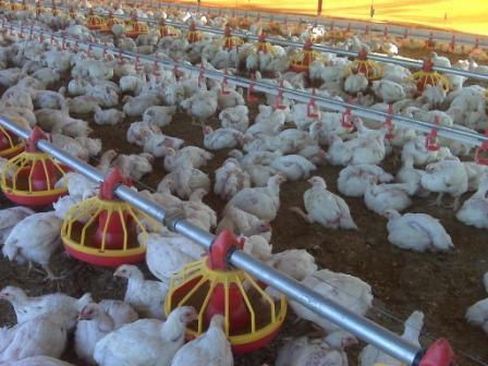 Poultry husbandry pdf