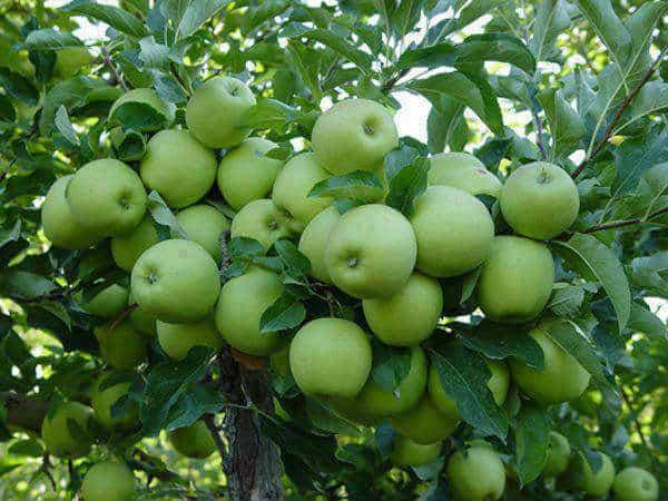 Apple Fruit Benefits - newhairstylesformen2014.com