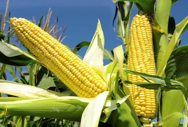 Maize скачать торрент на русском
