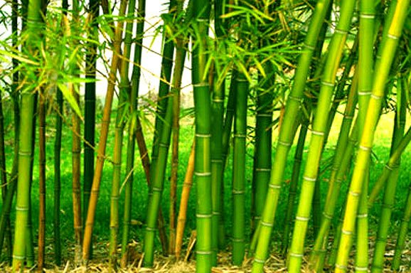 bamboo farming information guide agri farming. Black Bedroom Furniture Sets. Home Design Ideas