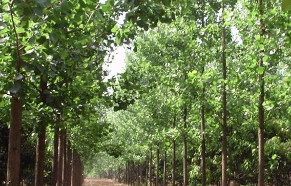 Poplar tree farming information guide agrifarming