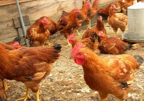 case study on poultry farming in india