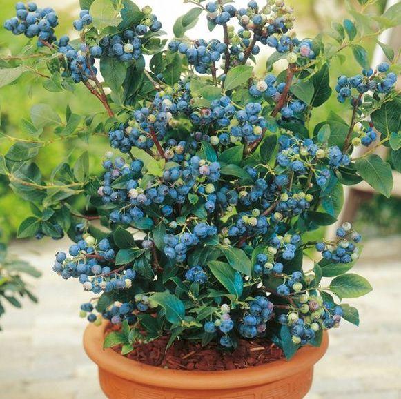 Blueberry Bush Sale