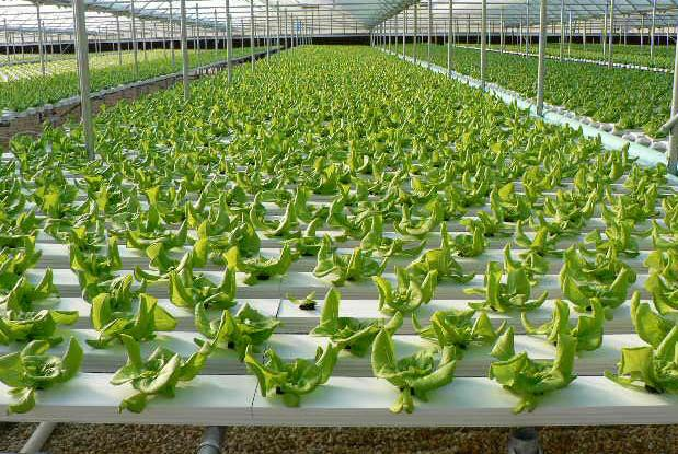 Hydroponics Farming Information Guide Agrifarming In