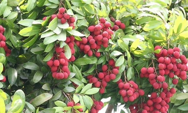 litchi fruit farming information guide  agrifarming.in, Beautiful flower