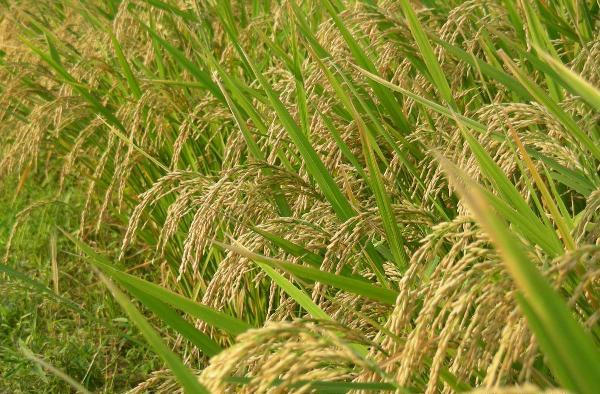 Rice Cultivation Information Guide | Agri Farming