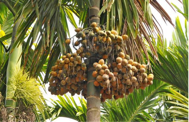 Arecanut Cultivation Betel Nut Information Agri Farming