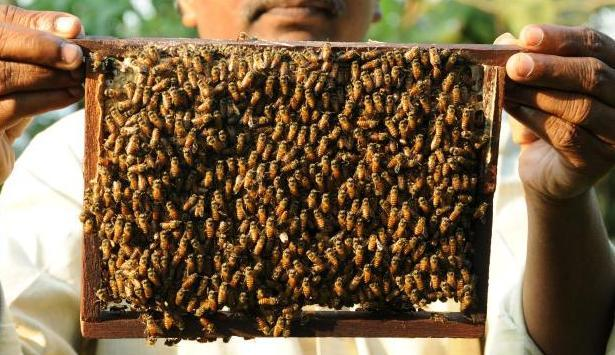 honey bee farming Many races and hybrids of european honey bees are available for purchase in the us there is no perfect honey bee for all locations, but the mixtures of traits that each type possesses.
