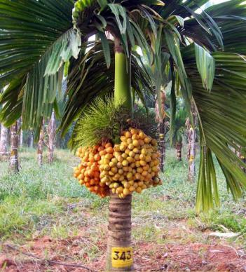 Date palm cultivation in india
