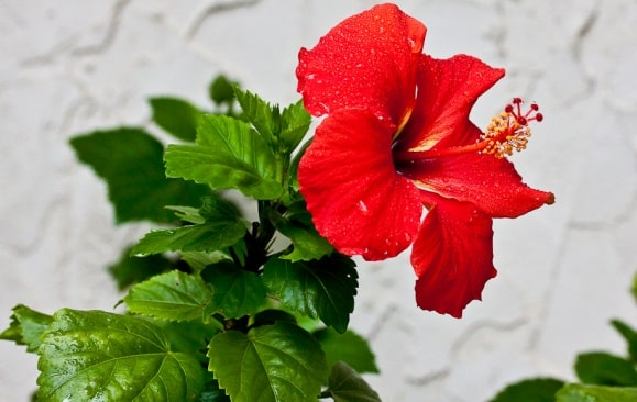 Hibiscus Cultivation Information guide | Agrifarming.in