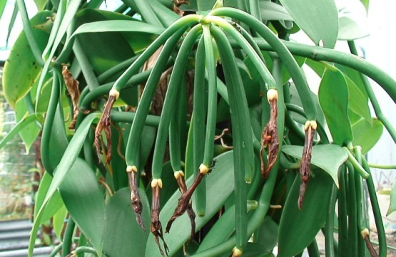 vanilla production On the heels of tremendous growth and technological advances, vanilla manufacturer.