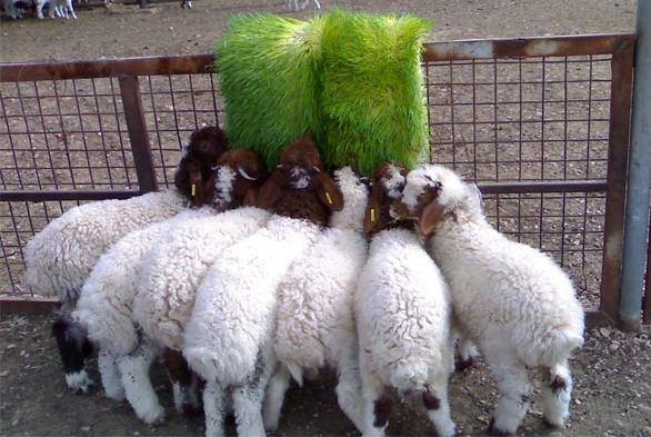 Hydroponic Green Fodder Production Guide Agri Farming